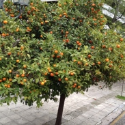 oranges a plenty