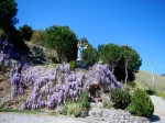 Beautiful Wisteria at a roadside statue of Jesus Christ on our way back to Acquafredda