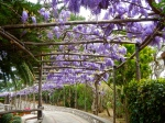 Wisteria on the Isle of Capri - so fragrant / stunning