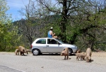 The pig whisperer of Corsica