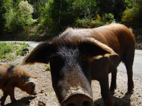 Pigs roam inland road