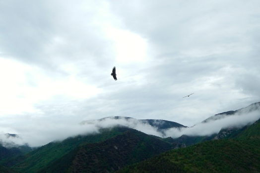 Bearded vultures soaring high above us