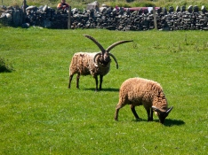 Manx Loaghtan four horned sheep at Gregnesh Village