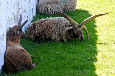 Manx Loaghtan 4 horned sheep The horns are pretty handy keeping the head off soggy ground !!