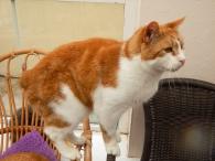 Beautiful Manx cat at the IOM Manx Cat Sanctuary