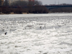 Hundreds of seagulls on the ice