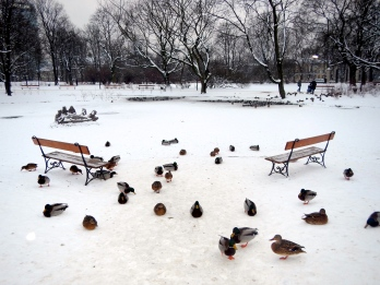 These duckies MUST have cold tootsies! - Krasiński Park