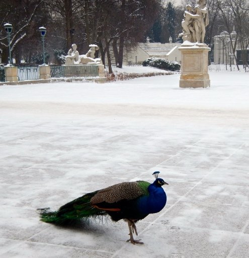 Ooh.. Ooh.. that's cold under my feet !!! Peacocks of the Palace on the Isle in Łazienki Park