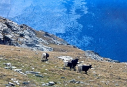 Mountain goats just roaming around