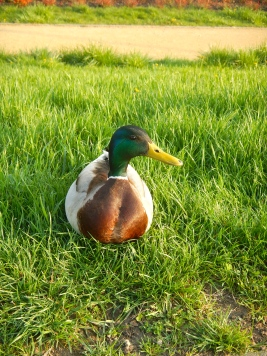 Mr Duck - nestled on the grassy bank of the Vistula river