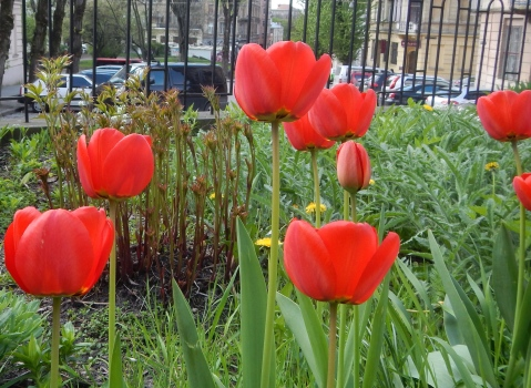 Red tulips are planted everywhere in Lviv
