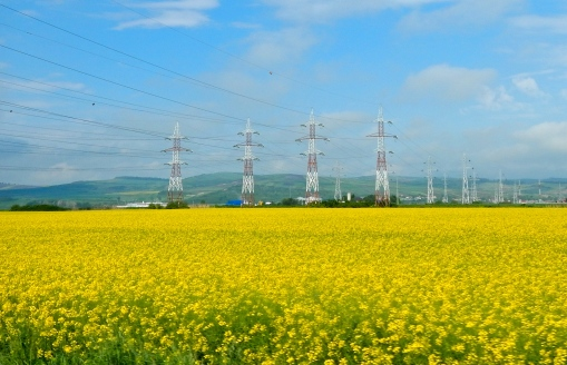 A sea of yellow - such a beautiful contrast against the blue and white sky