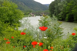 Poppies are blooming on the banks of the Iskar river in Bulgaria