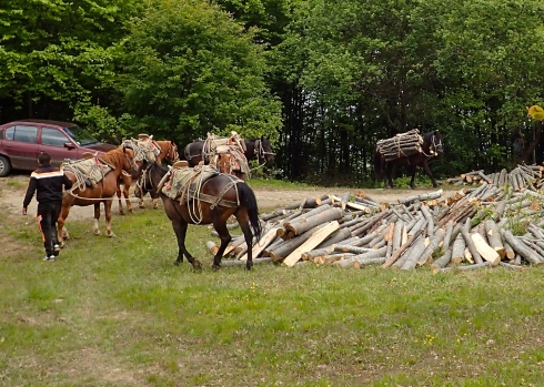 Horses bringing cut wood up from the forest. Each piece of wood was cut to the exact same length