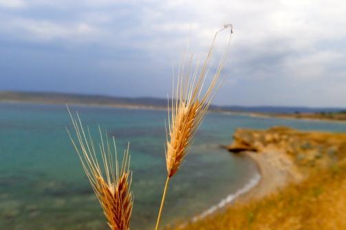 Wild wheat at ANZAC Cove
