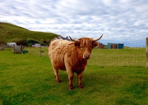 Wooly Bully Scotlands Highland cattle