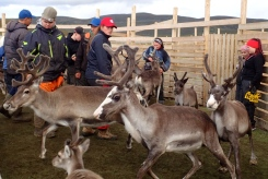 Finland/Lapland - we were lucky to stumble on the annual reindeer roundup