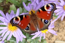 Beautiful butterfly at one of the Commonwealth War grave cemeteries on the Somme in France